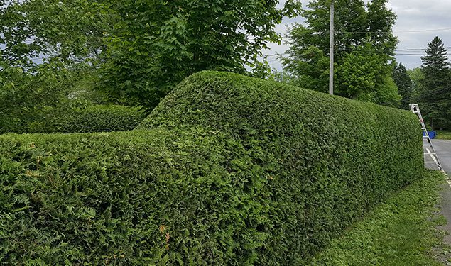Hedges trimming